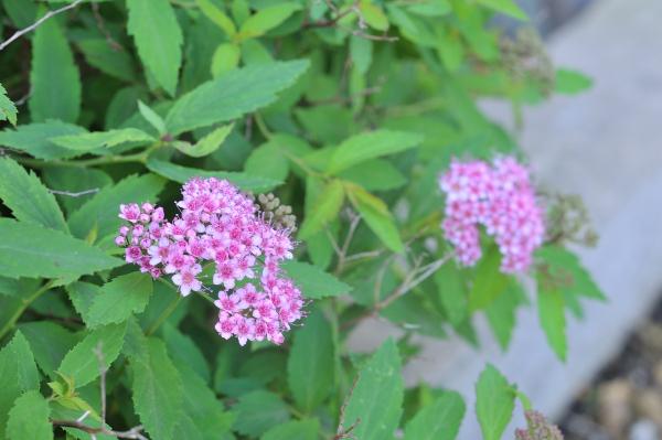 シモツケの花です
