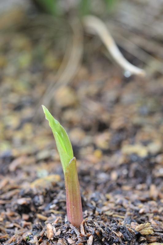 モイワランの芽です