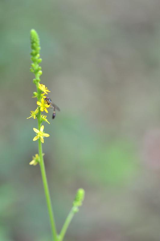 キンミズヒキの花です