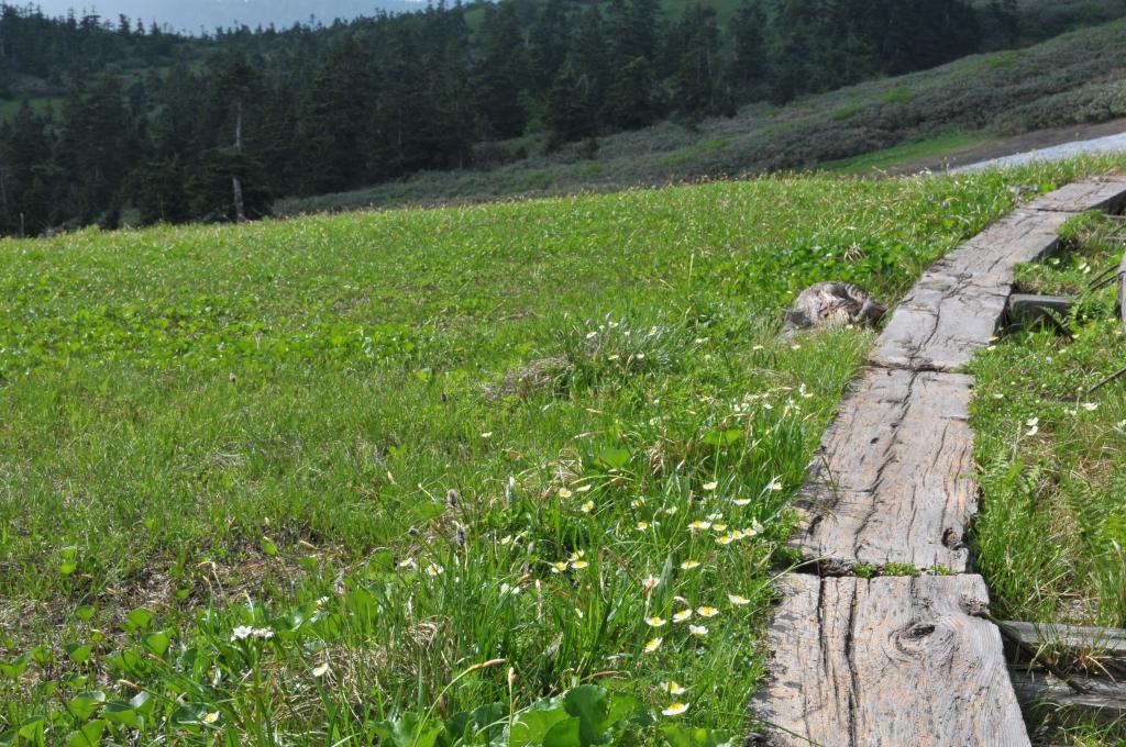 木道横で、チングルマ・イワイチョウが咲いています