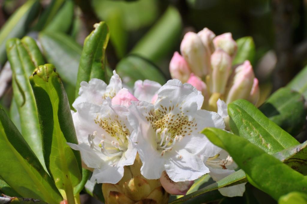 ハクサンシャクナゲの花です
