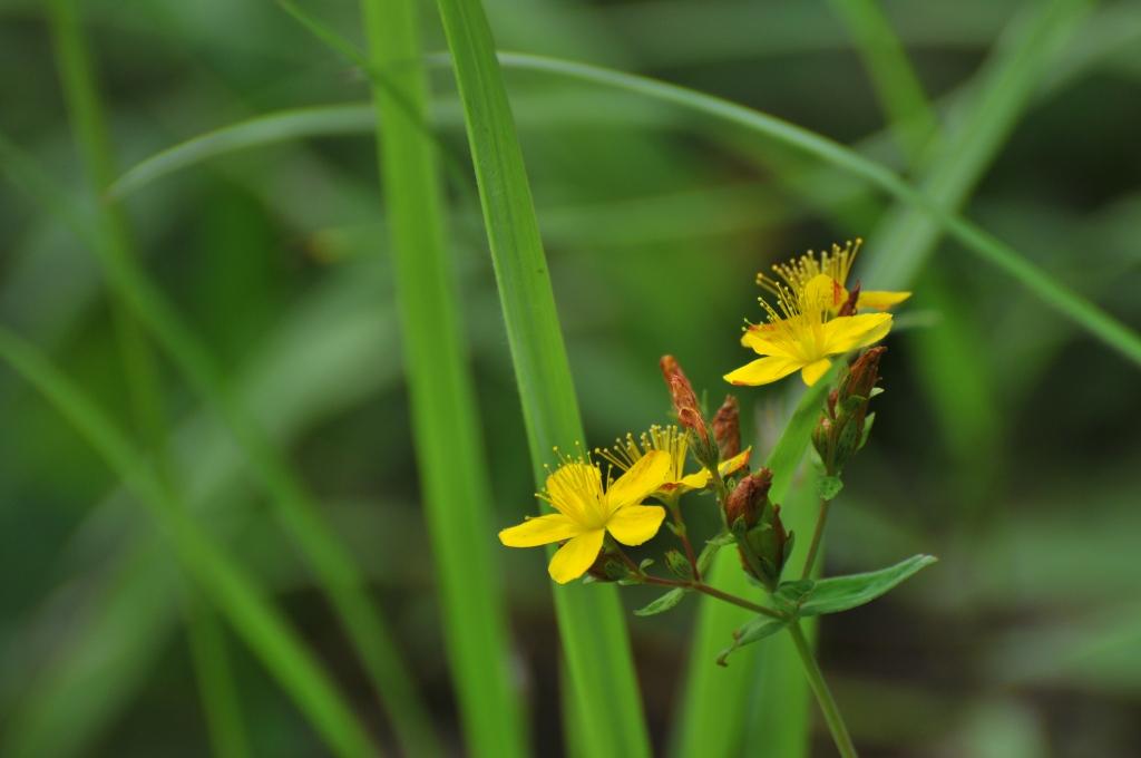 イワオトギリの花です