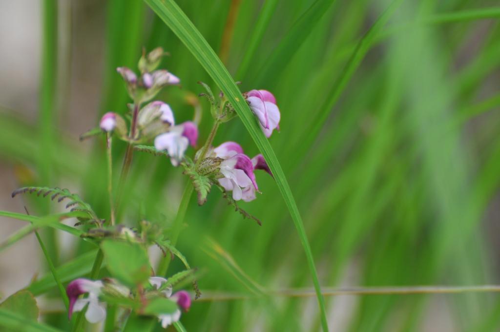 クチバシシオガマの花です