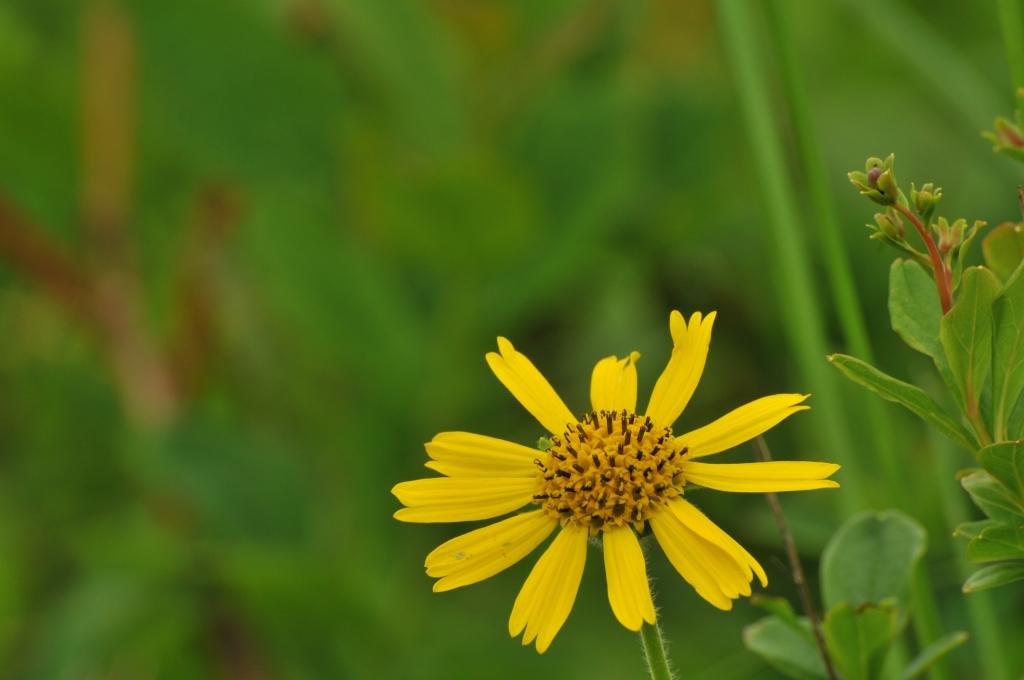 ウサギギクの花です