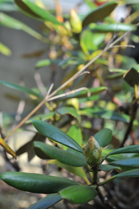 オキシャクナゲの花芽です