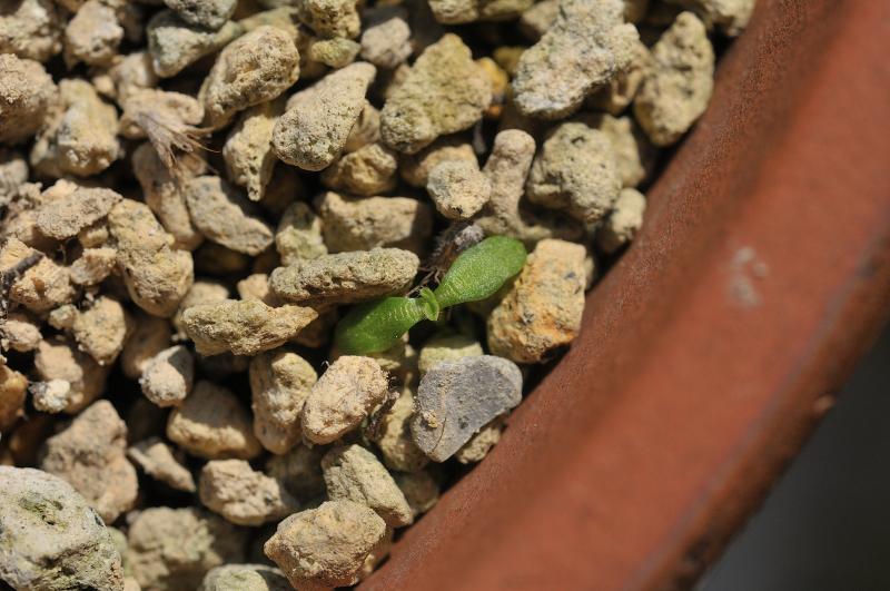 エゾマツムシソウが発芽しました
