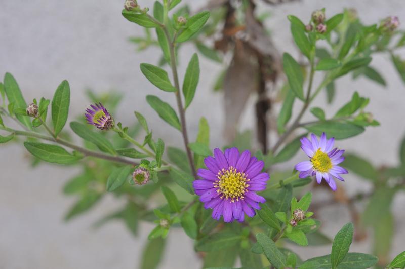 エゾノコンギクの花です