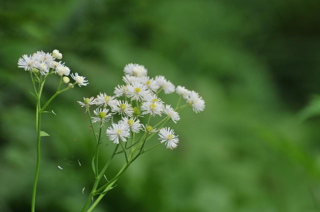 モミジカラマツの花です