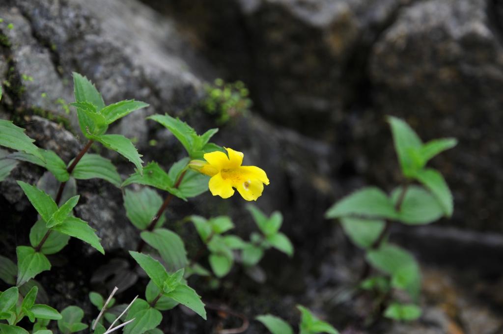 オオバミゾホオズキの花です