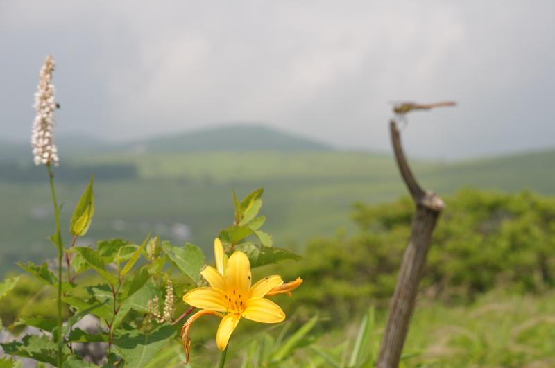 日光キスゲと、イブキトラノオの花です
