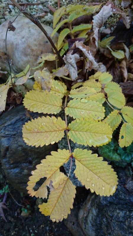 カライトソウの黄葉です