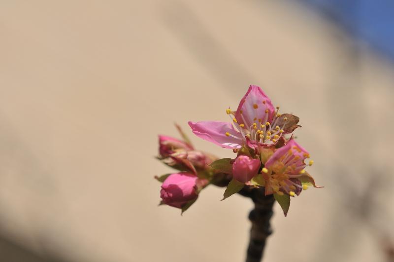 河津桜の花と蕾です