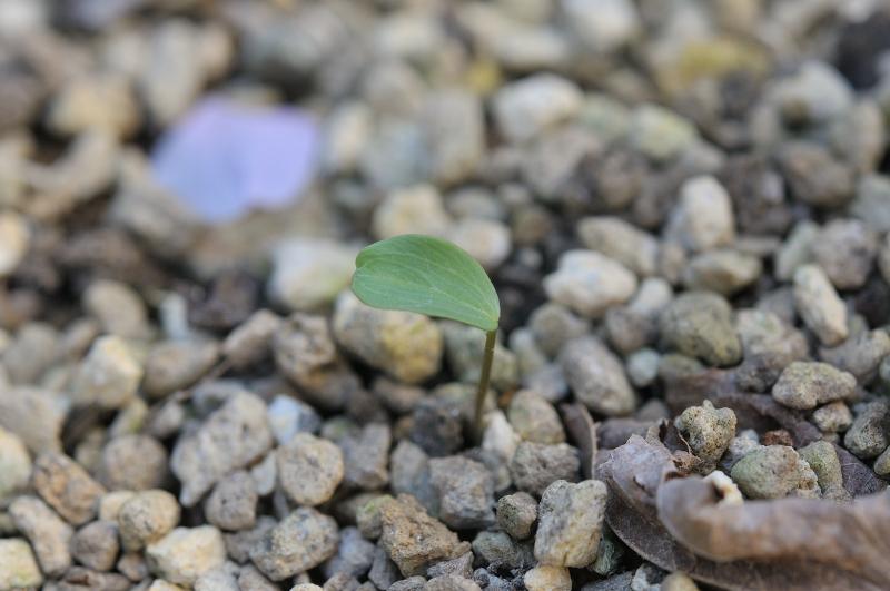1年目のセツブンソウの葉っぱです