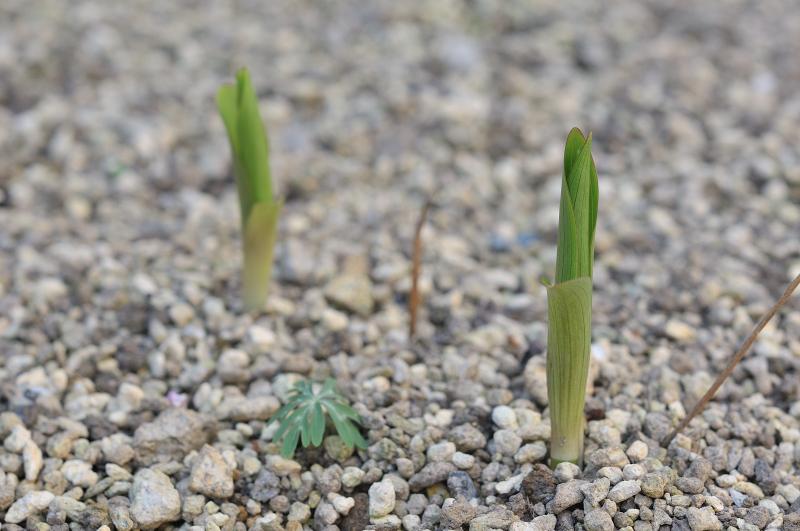 カノコユリの芽です
