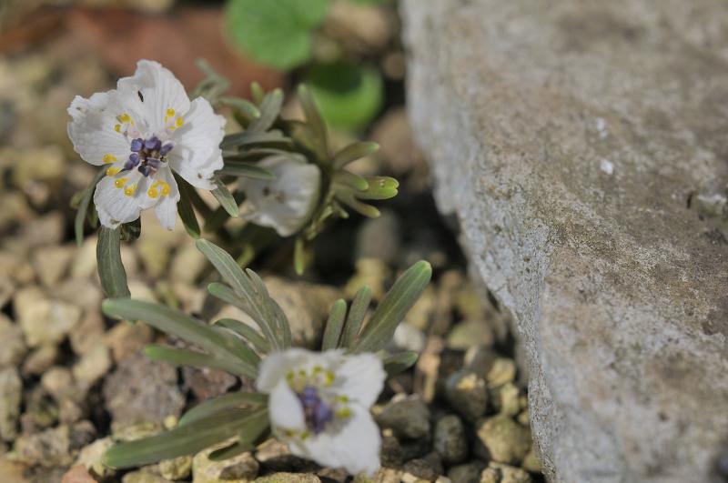 セツブンソウの花です