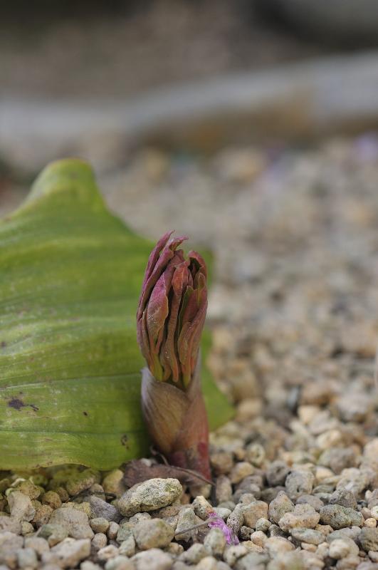 山芍薬の芽です