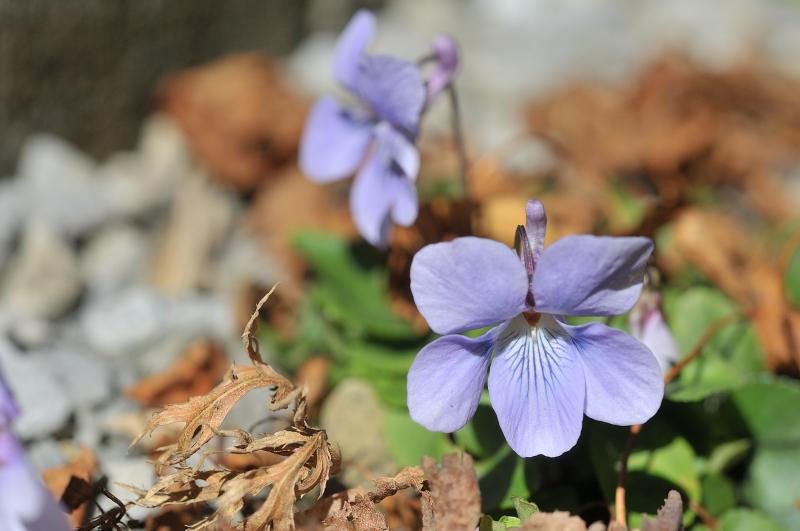 タチツボスミレの花です