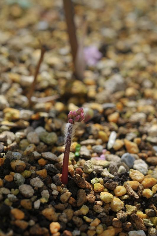 イカリソウの芽