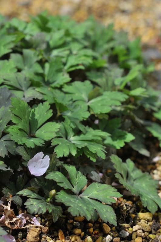 ニリンソウの葉と蕾です