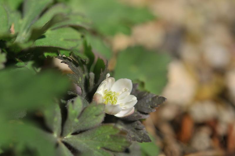 ニリンソウの咲き始めです