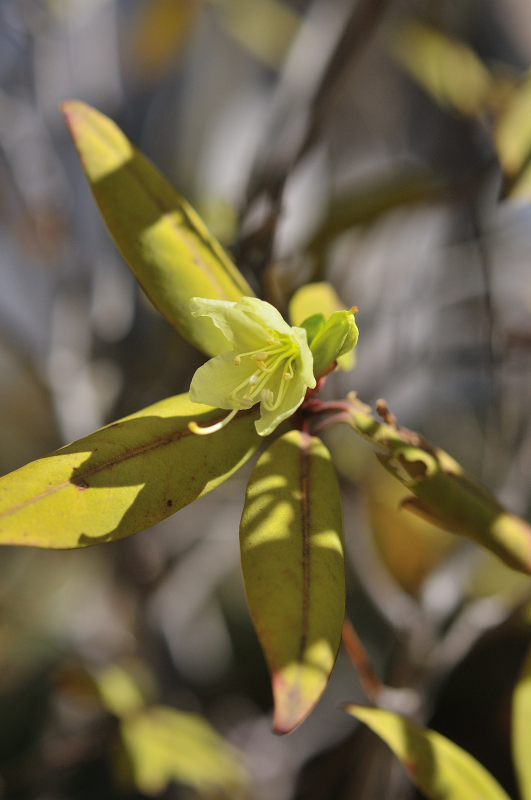 ヒカゲツツジの花と蕾です
