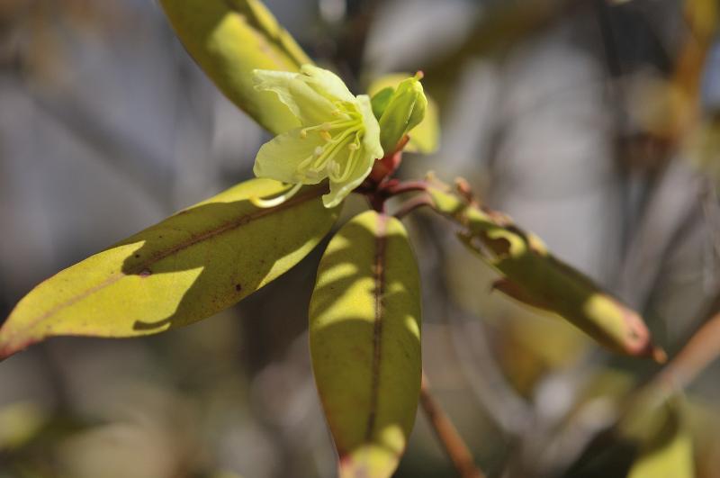 日光ヒカゲツツジの花と蕾です。