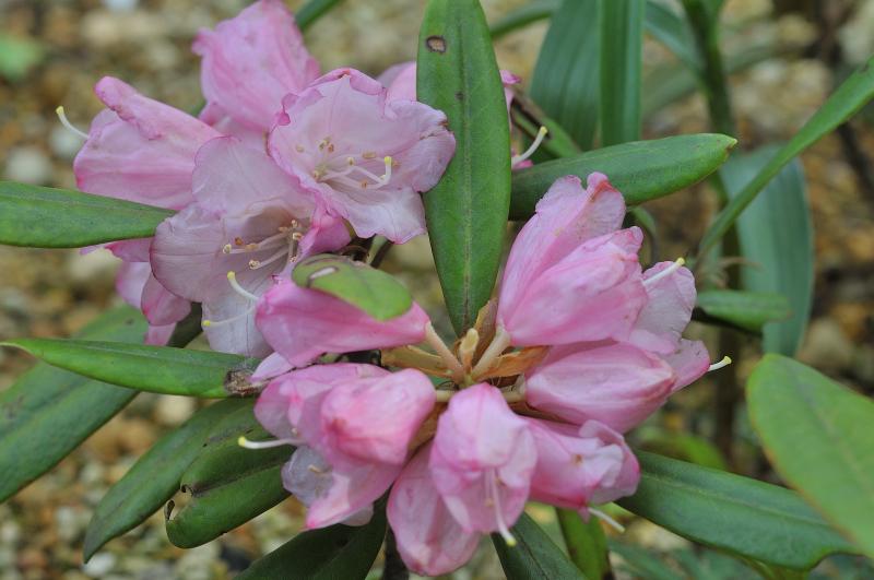 只見石楠花の花です