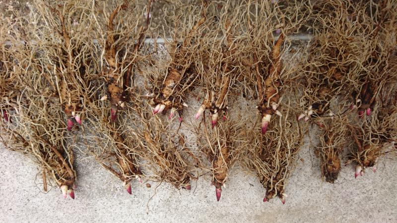 紅花山芍薬の根です