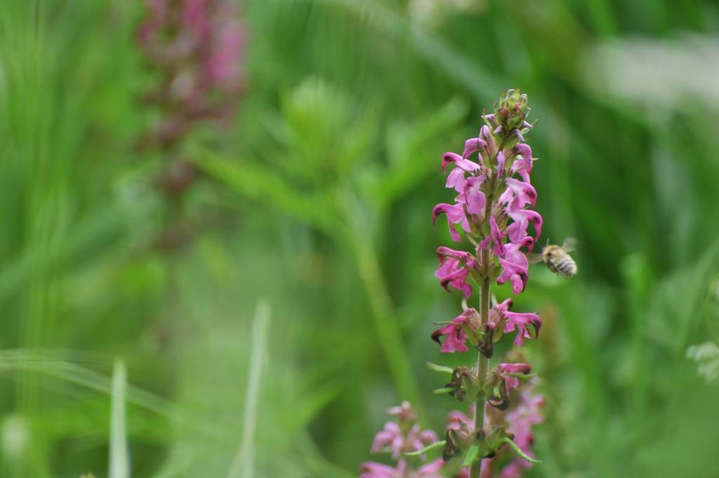 ミツバチがハッコウダシオガマに向かって飛んでいます