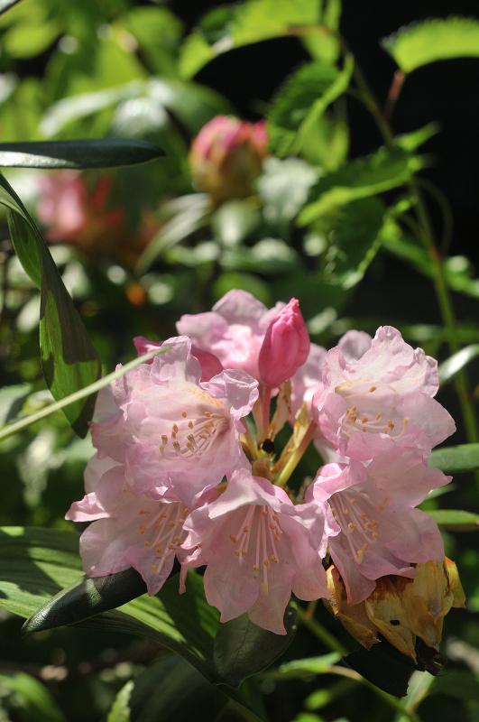隠岐石楠花の花です