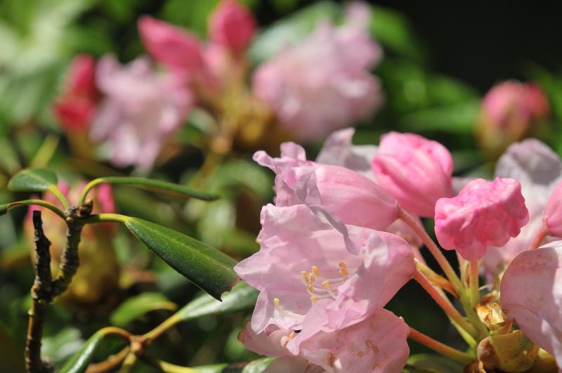 隠岐石楠花の花のアップです
