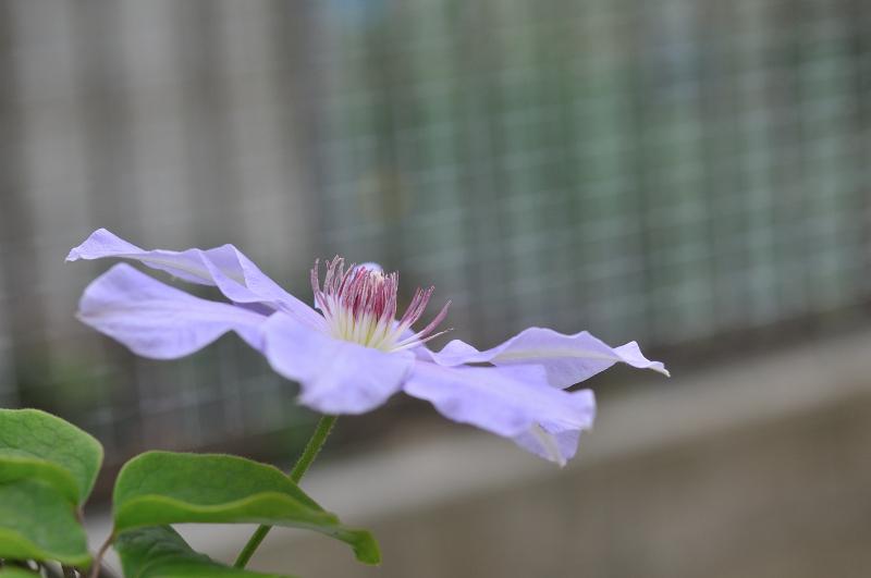 カザグルマの花です。