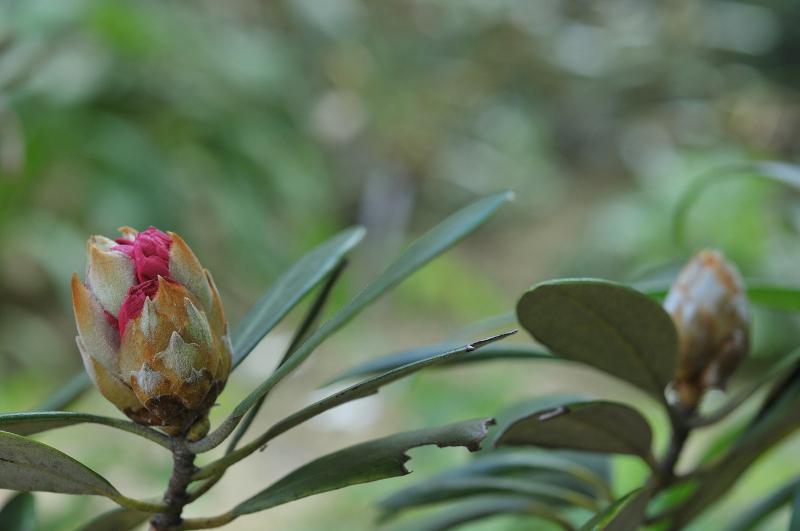 ツクシ系シャクナゲのつぼみです