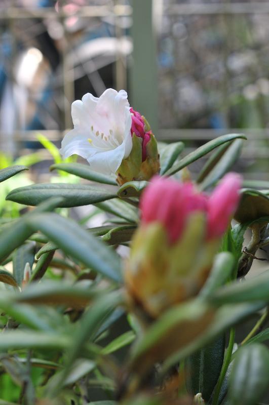 屋久島石楠花の咲き始めです