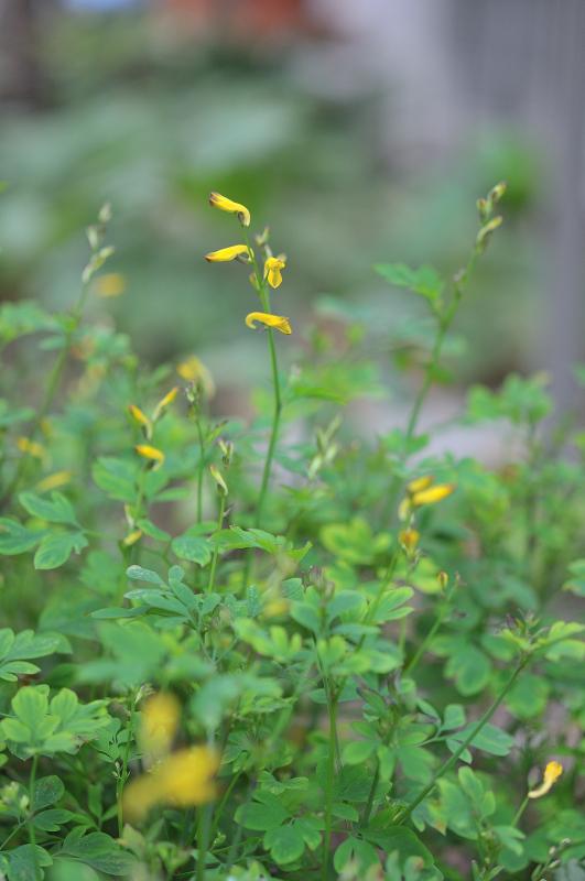 去年咲いたナガミノツルキケマンの花です