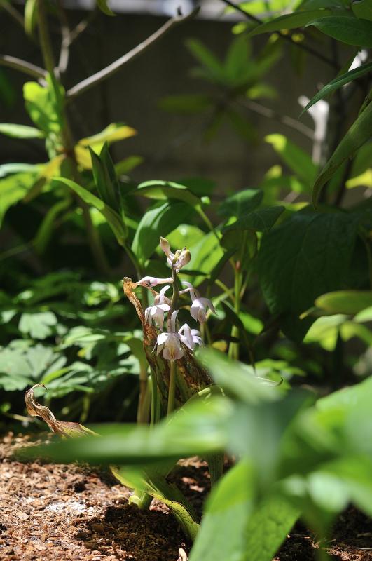 キリシマエビネの花です