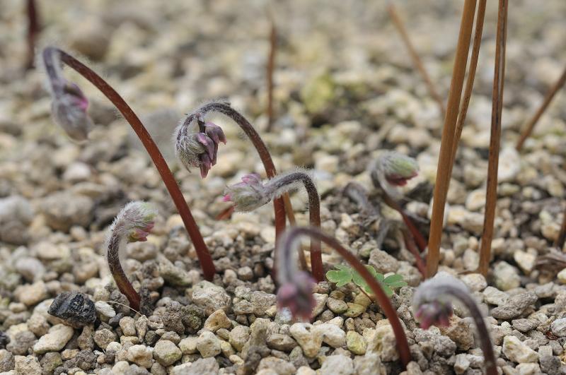イカリソウの芽出し