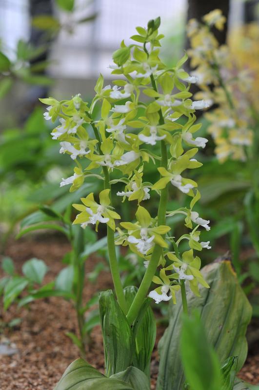 栃木県産素心ジエビネの花です