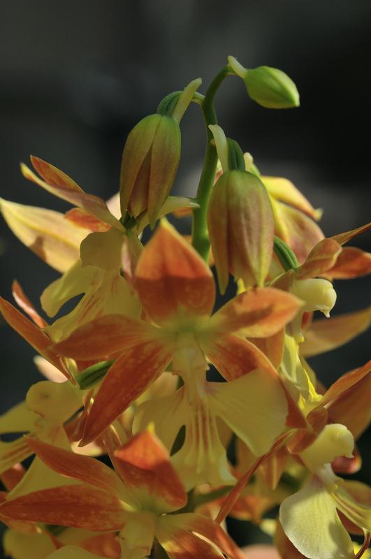 ウイルスに感染して花に症状が出たタカネエビネ