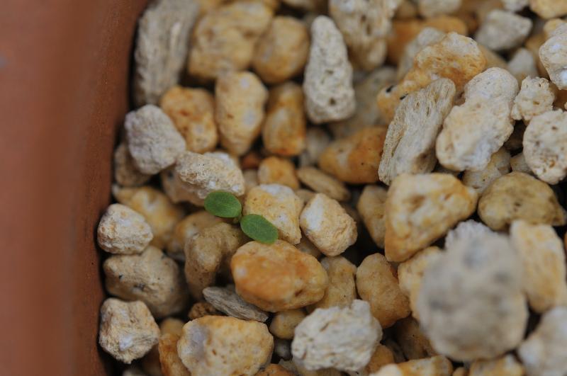 オトギリソウの芽です