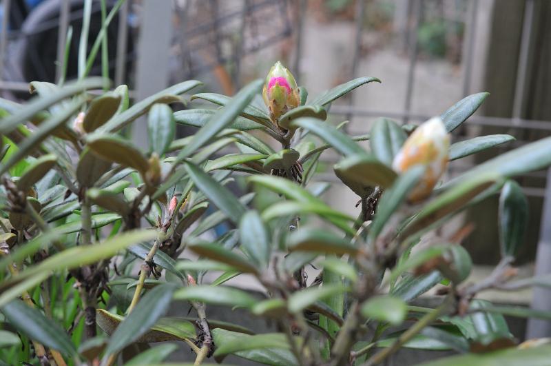 屋久島石楠花の花芽です