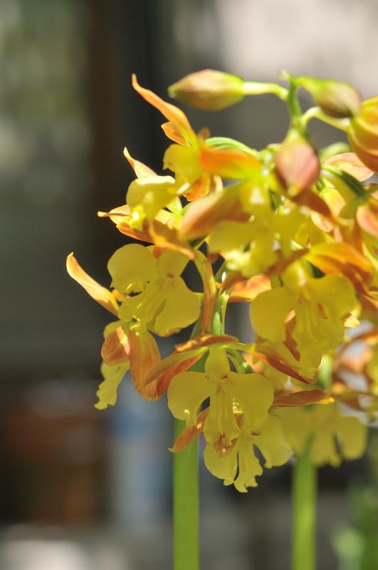 タカネエビネの花です