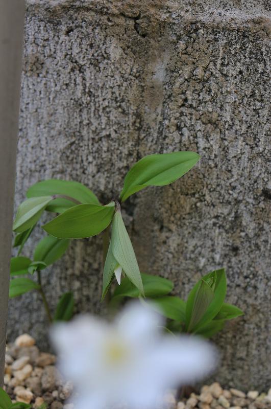 チゴユリの花です