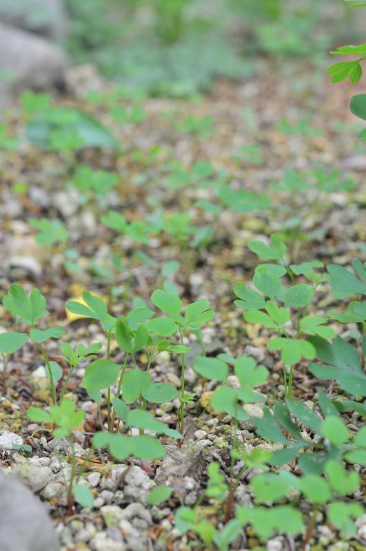 ナガミノツルキケマンの芽です
