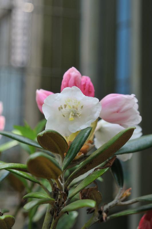 屋久島石楠花の花です