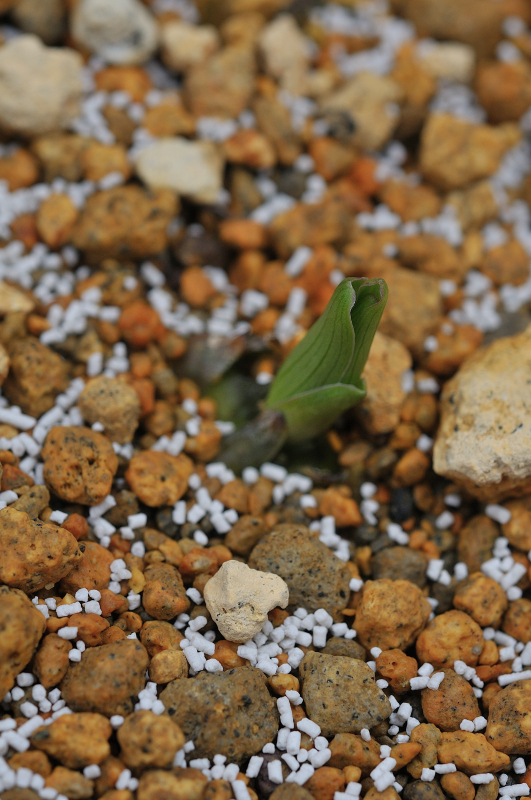 ササユリの芽です