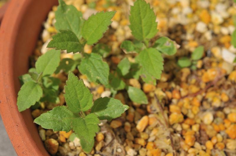 ヨツバヒヨドリの本葉です