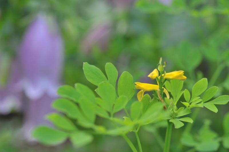 ナガミノツルキケマンの花です