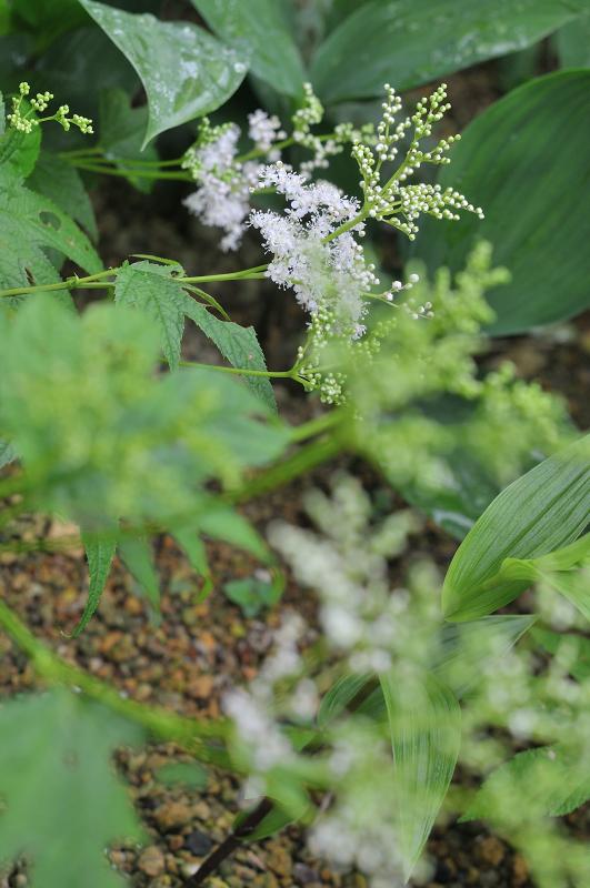 オニシモツケの花です
