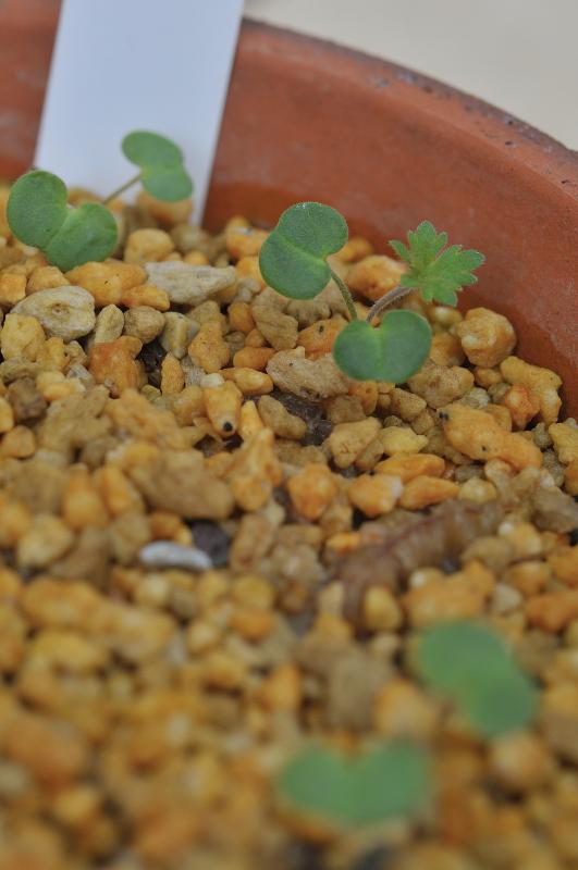 ハマフウロの芽です